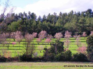 4 Agroforesterie-amandiers-en-fleur-aude-Francois-Gardey-de-Soos