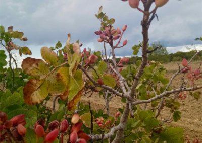 Quelques pistaches qui mûrissent