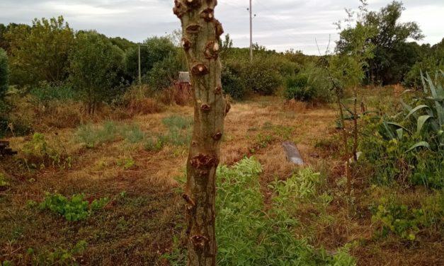 Sélection de semis naturels de jeunes frênes communs dans les rangs agroforestiers d'une parcelle d'amandiers anciens.