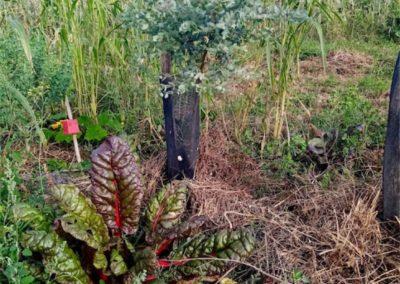 Blettes sous un eucalyptus Gunnii